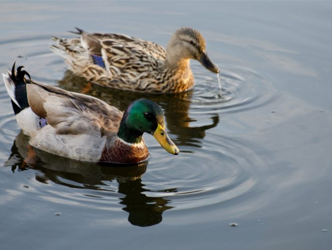 """The Sopranos: Maybe it was all about """"those goddamn ducks."""""""